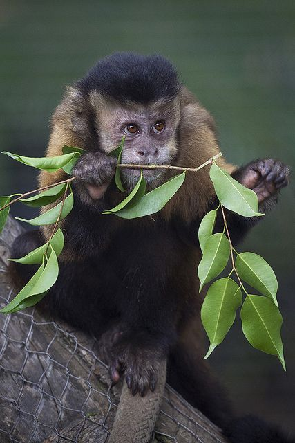 Capuchin Monkeys Arrive at the Zoo by Official San Diego Zoo, via Flickr