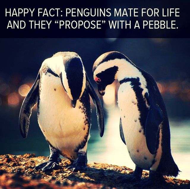 Penguin Pebble Quotes Quotes Interesting Penguin Love Quotes