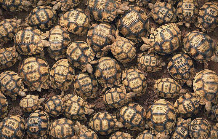 Ploughshare Tortoises by Tim Flach. #timflach #animalphotography #tortoises