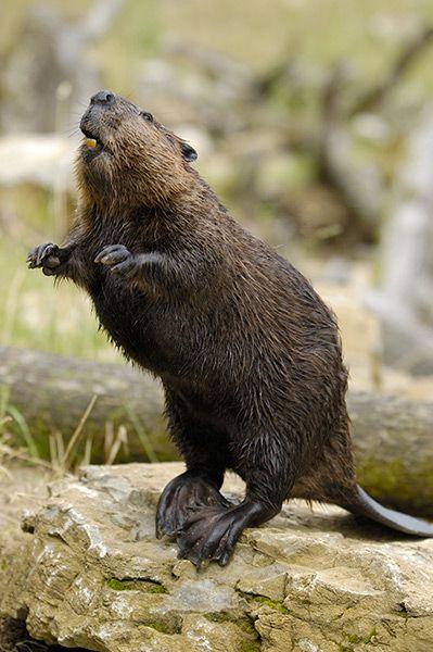 eurasian beaver | castor fiber | a 14,055% increase in population since 1960 to around 337,500 individuals today | wildlife comeback europe | foto: blickwinkel