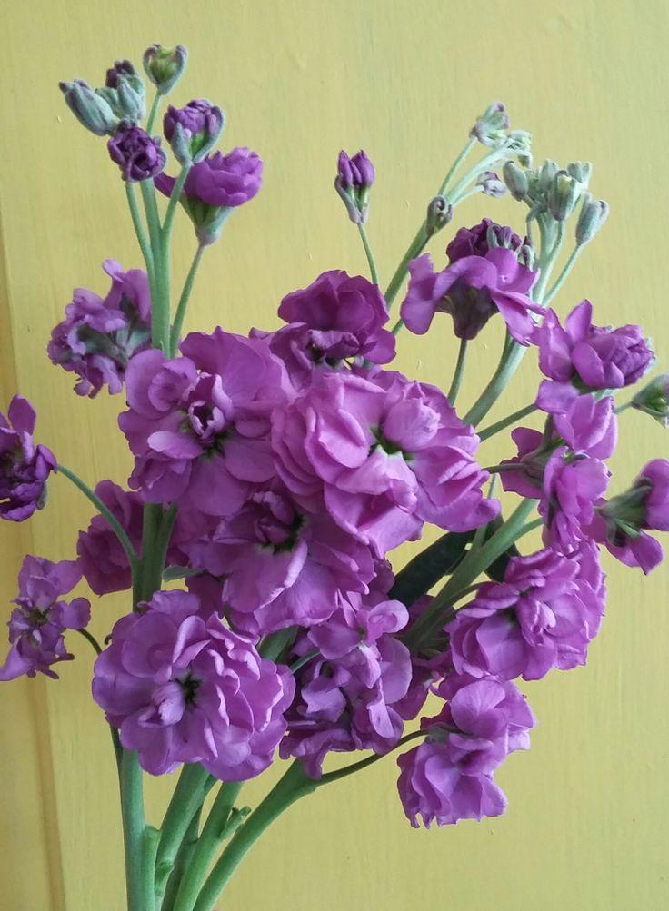 Seasonal Flower: Stocks - pretty in purple!