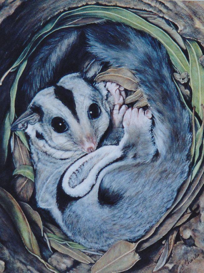 Squirrel Glider in Nest