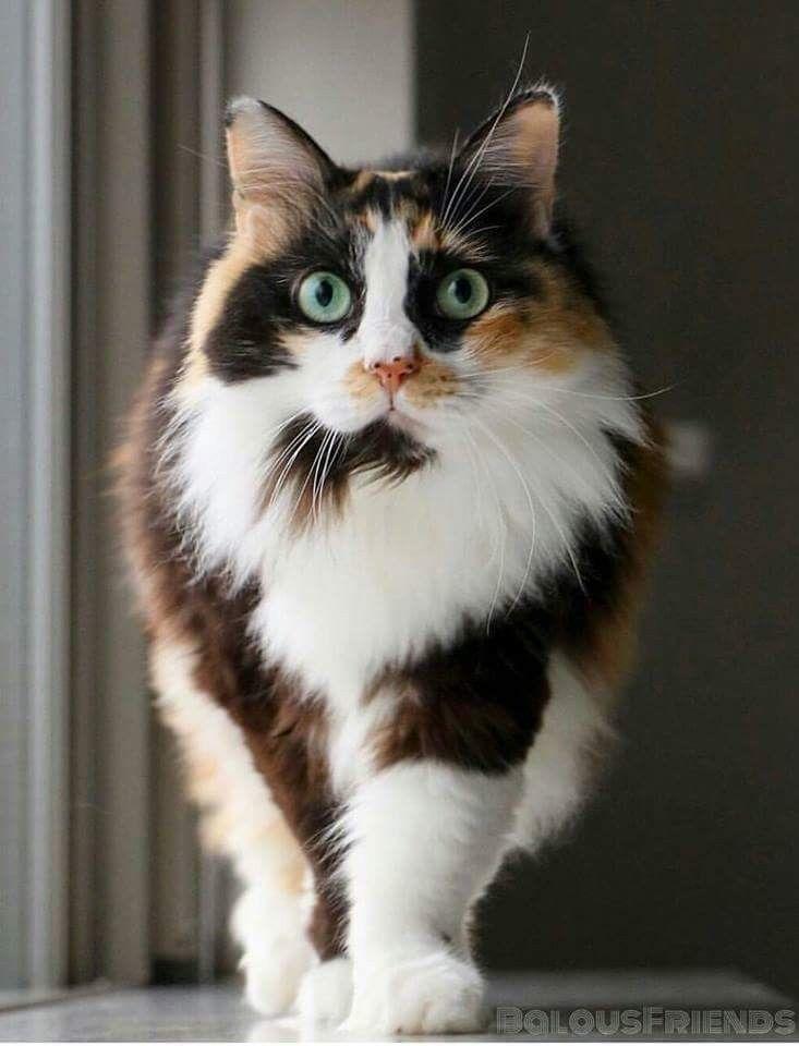 Tri Colored Cat Black Orange And White Gatos Bonitos Gatitos