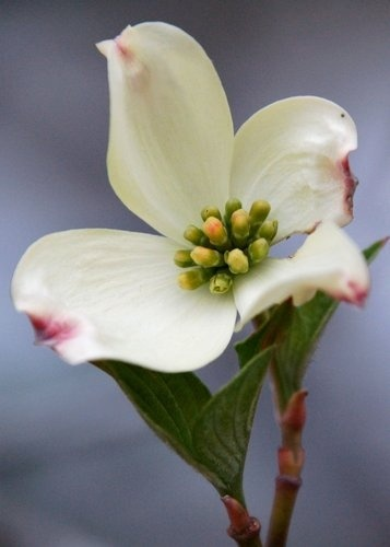The blossom of the dogwood tree (Cornus florida) was designated as the official state flower of North Carolina in 1941. The Dogwood is one of the most common trees in North Carolina, found in all parts of the state from the mountains to the coast.
