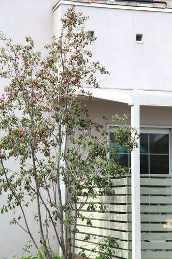 すっきりとした樹姿のジューンベリーは、春に純白の花を咲かせ、6月に赤い実をつけます。実は生でも食べられて、ジャムや果実酒にも利用できるのが魅力です。