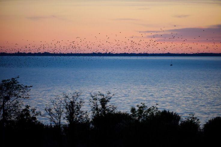 Birds above the lake #Balaton. #Europe #Hungary #lake #nature #bird #birds #dawn