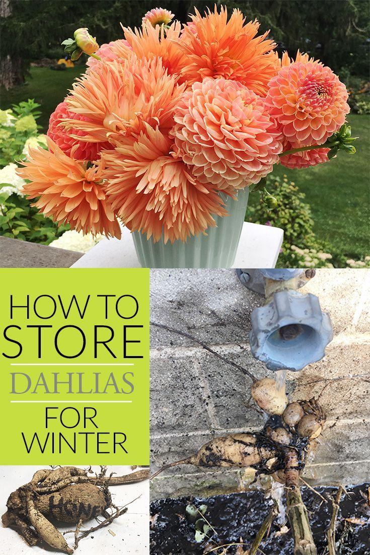 The How To Of Storing Dahlias The Impatient Gardener Dahlia Planting Bulbs Diy Garden Projects
