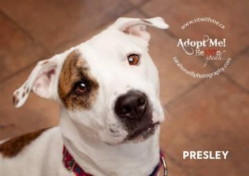 Meet Presley, a Petfinder adoptable American Staffordshire Terrier Dog | Montreal, QC | Presley looks at the world and sees a wonderful place..and she throws herself into everything with...