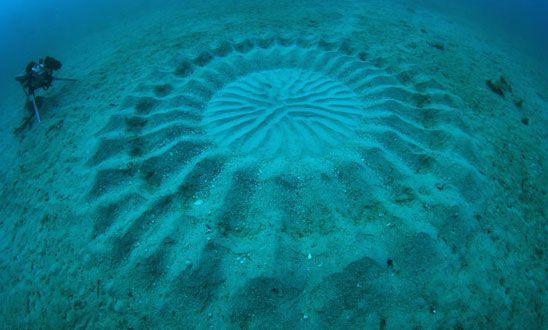 Découvrez l'œuvre du Fugu : ce poisson dessine et décore ses propres motifs sous-marins pour attirer l'attention des femelles.