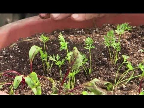 how to grow carrots in florida
