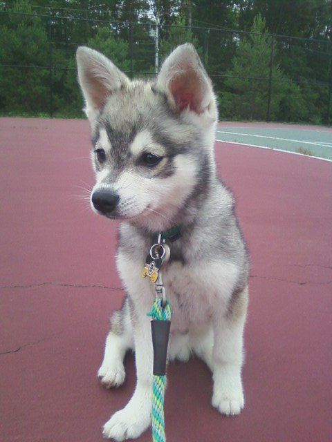 Oh good gracious. Husky puppy. Too cute