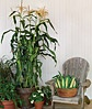 Corn, On Deck Hybrid: Container Growable Sweet, Container Gardens, Garden Ideas Plants, 2013 Ideas, Hybrid, Garden Stuff, Container Gardening, Corn