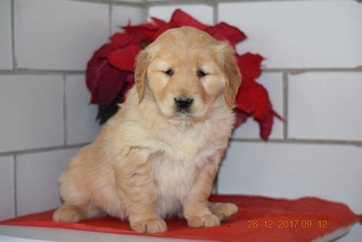 Golden Retriever Puppy For Sale In Fredericksburg Oh Adn 58439 On Puppyfinder Com Gender Female Age 6 We Golden Retriever Puppies For Sale Retriever Puppy