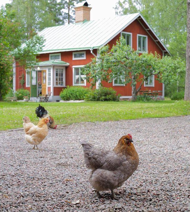 Trådgårdshöns! Foto: Erika Åberg