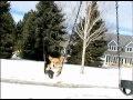 Contented Corgi, swinging in the snow.