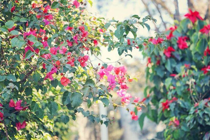 Beautiful bougainvillea in the Hunter.