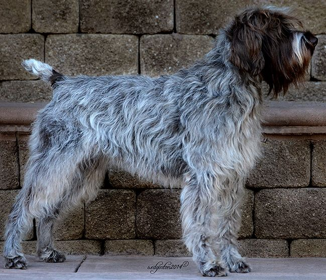 Best 25 Wirehaired Pointing Griffon Ideas On Pinterest