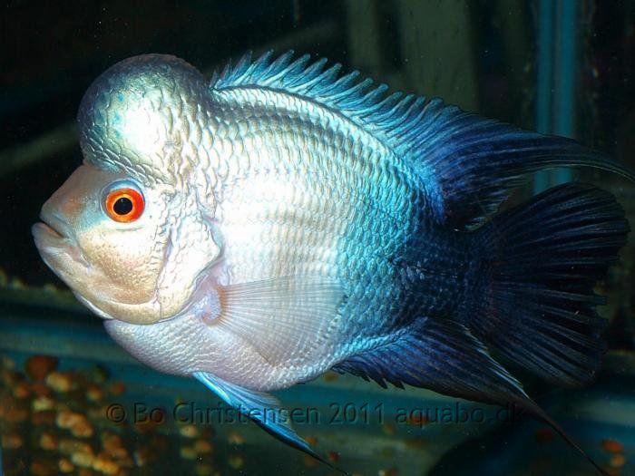 thai silk flowerhorn fish pictures   BLUE FLOWER HORN