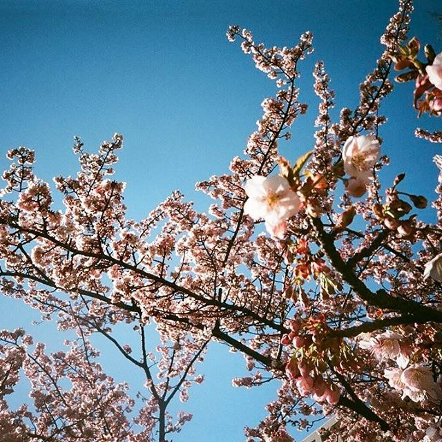 【yutarou_blue】さんのInstagramをピンしています。 《桜が静かに淡く咲き始めました . . . .  #photographer #photograph #photography#film#35mm #filmphotography  #ファインダー越しの私の世界#snap#写真#tokyo #新年#日本#japan#赤#夕日#streetphot#太陽#桜#YOLO#Instagram#repost#フィルム#フィルム写真 #フィルム写真普及委員会 #フィルムに恋してる #東京カメラ部 #yutarouphotography》