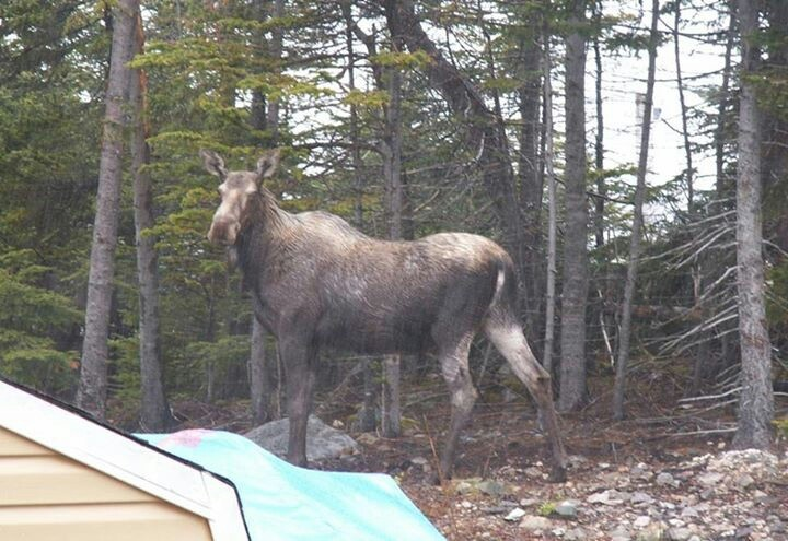 Moose hanging out in the backyard.