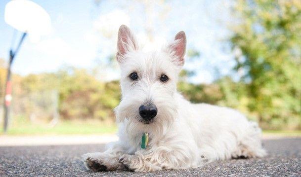 Scottish Terrier Dog Breed Information Scottish Terrier Scottish Terrier Puppy Dog Breeds