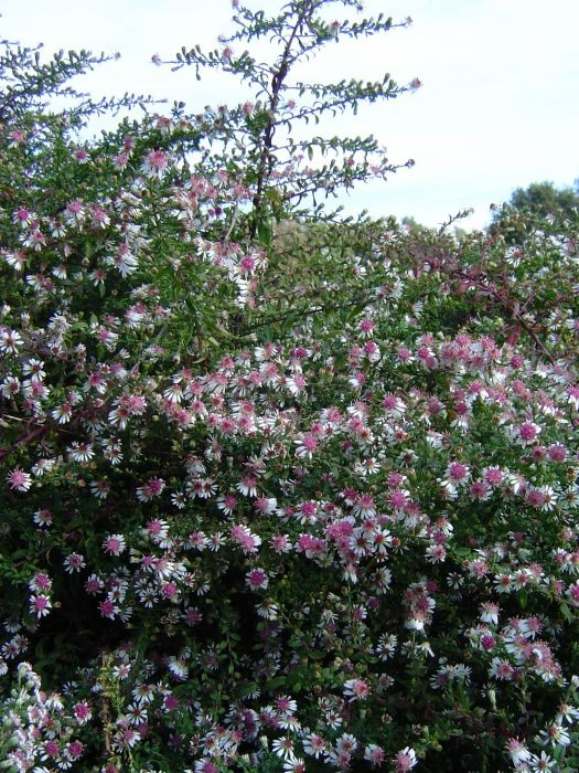 aster lateriflorus horizontalis: Cottages Gardens, Aster Lateriflorus, Lateriflorus Horizontali