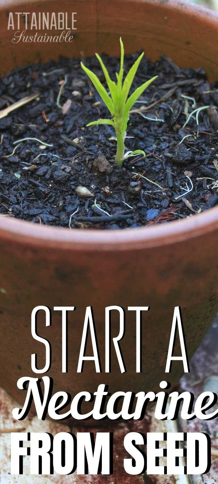 How To Grow A Nectarine From Seed Nectarine Growing Fruit Trees Growing Fruit