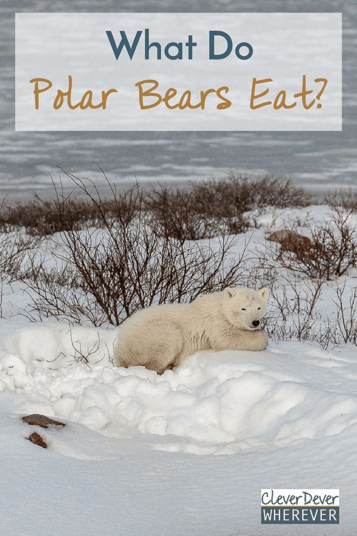 What Do Polar Bears Eat Sadly It S Not Pancakes Cleverdever Wherever Polar Bear Polar Cutest Animals On Earth
