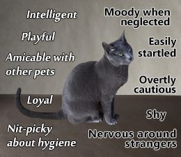 The russian blue cat facts