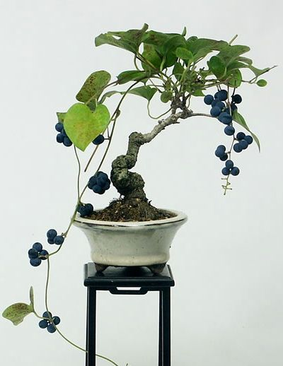 blueberry bonsai tree