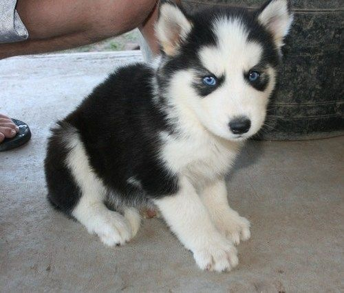 Miniature Siberian Husky | Mini and Cute Siberian Husky Puppies - Sydney - Dogs for sale, puppies ...