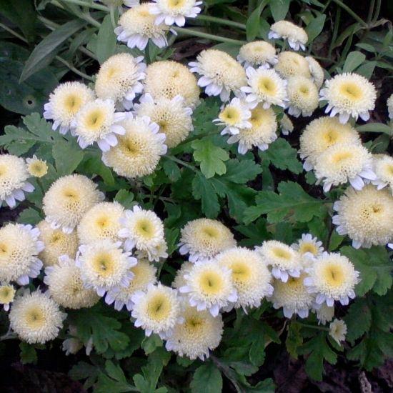 Однолетние растения. Матрикария Том Тамб - вот такую красоту прикупила сегодня   Из отзывов: Это компактное растение шаровидной формы абсолютно неприхотливо и идеально подойдет для озеленения любого участка. Выращивала его рассадным способом. Молодые приживаются очень хорошо, быстро растут и радуют своими красивыми анемоновидными цветками. Меня удивило обилие цветов и продолжительность их цветения. Красовались у меня до самых заморозков!  Уже жду не дождусь лета! - Мой Сад