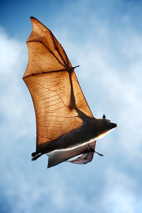 transparent bat wing: membrane is thinner & tougher than saran wrap, elongated forearm & fingers (with flexible joints) act as struts to support the membranous airfoil.  Chiroptera=hand wing...
