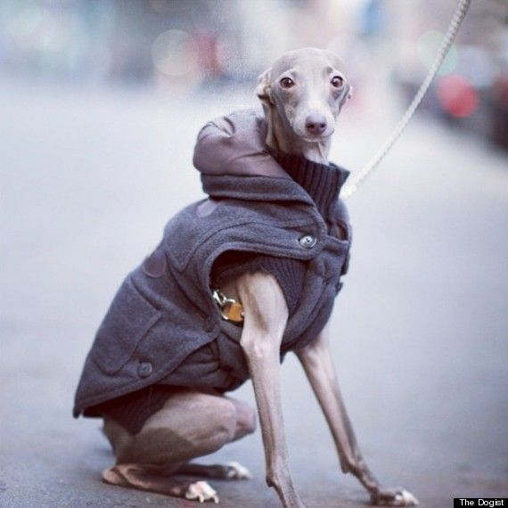 My italian greyhounds will need one of these jackets for winter. So cute & warm!