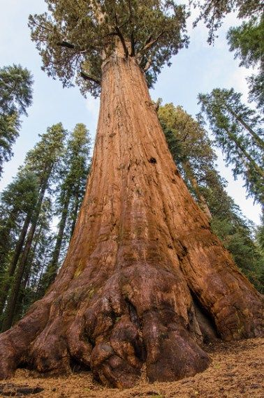 Visit some of the tallest trees in the world on this California road trip itinerary: Giant sequoias in Sequoia National Park.