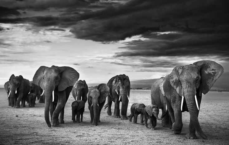 This is a special picture taken in a special place. Amboseli is the best canvas in the world on which to photograph elephants. In late October the lake is dry and huge herds make the daily trip across the scorched earth in search of water. #Elephants #WildlifePhotography #Conservation