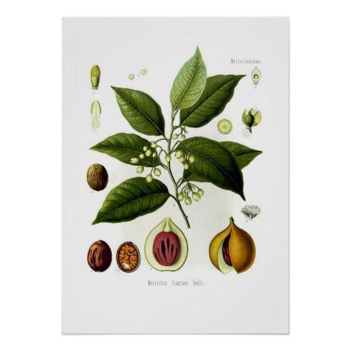 $20.70 Myristica fragrans (nutmeg) poster
