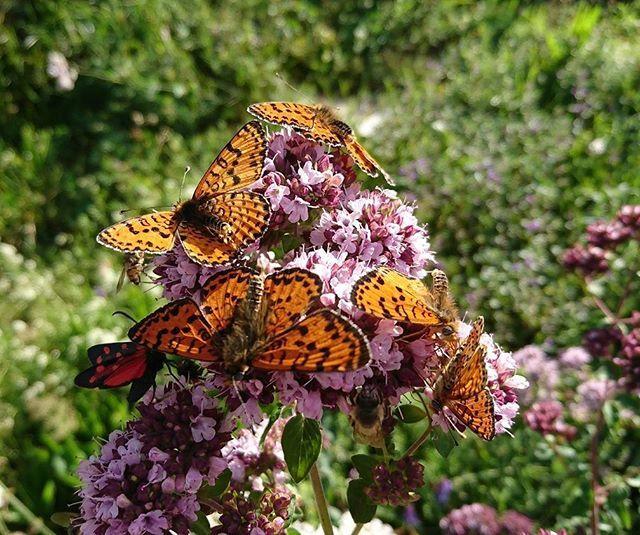"""""""Butterfly-Meeting in the new Herbal Garden in the Village Albinen. #switzerland #switzerlandwonderland #leukerbad #albinen #valaiswallis #valais #schweiz #verliebtindieschweiz #inlovewithswitzerland #discoverswitzerland #reisenlifestyle_ch #swissblog #travelgram #travelblogger #butterfly #garden #herbal #natureaddict #instagarden #instatravel #instagood #lovetotravel #wanderlust #nofilter #exploretheworld #topswitzerlandphoto"""" by @reisenlifestyle_ch. #pic #picture #photos #photograph #foto…"""