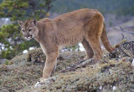 Puma ou onça parda