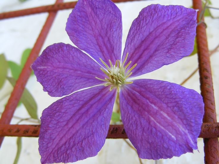 Violet Charm Clematis, Flowers