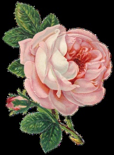 Gorgeous pink rose ~ PNG format