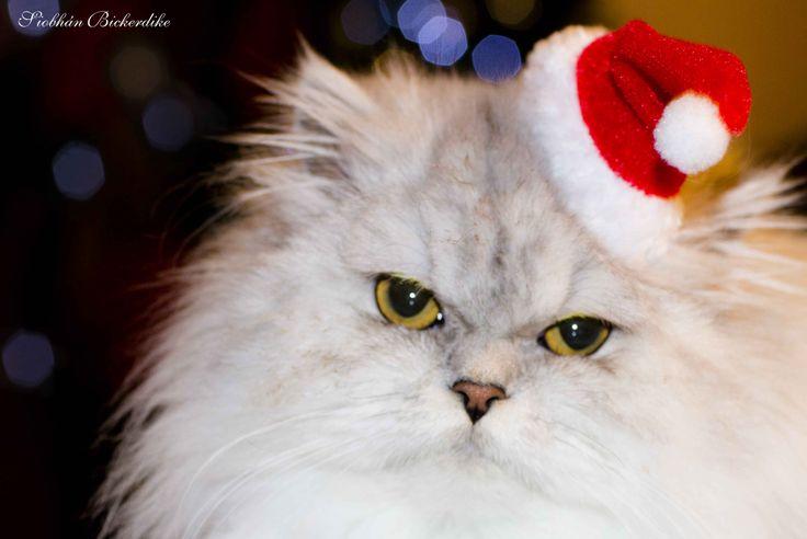 Merry Christmas Cat, Santa Hat, Persian