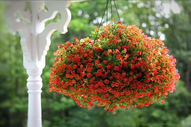 Tips for Maintaining Beautiful Flowering Baskets: Watering, Fertilizing and Pruning.  Photography ⓒ Michaela Medina - thegardenerseden.com