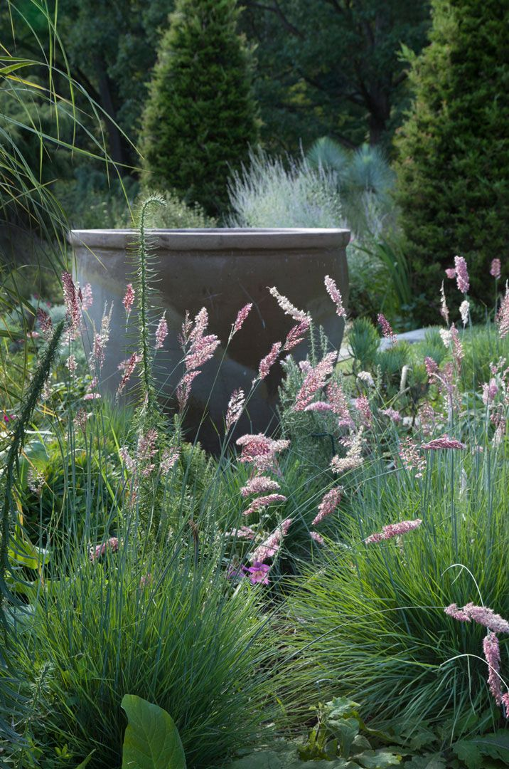 Melinis nerviglumis, or Ruby Grass, blooms in The Gravel Garden. Chanticleer