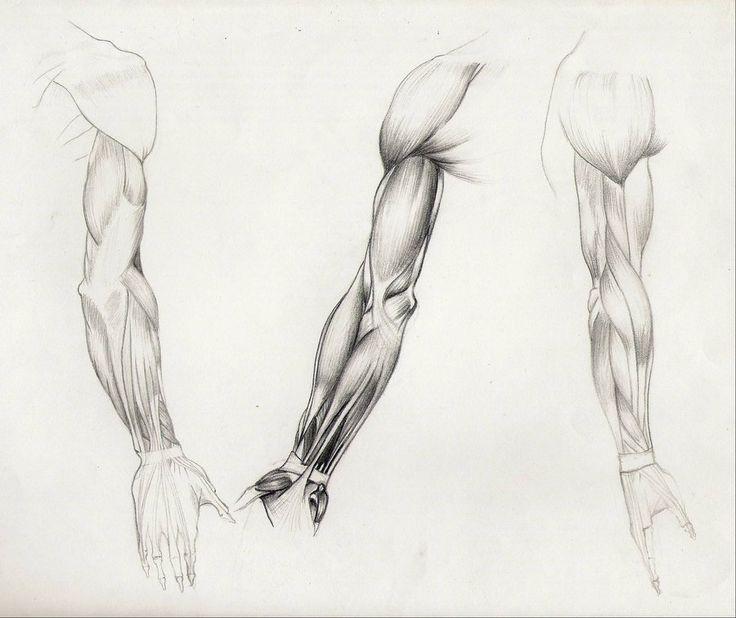 Studio anatomico del braccio: muscoli retro-interno-laterale tecnica: grafite su carta Anatomic study of arm: muscles back-inner arm- side technique: graphite on paper