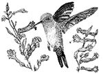 Plants to attract Hummingbird - saved for  the list of plants and their bloom periods
