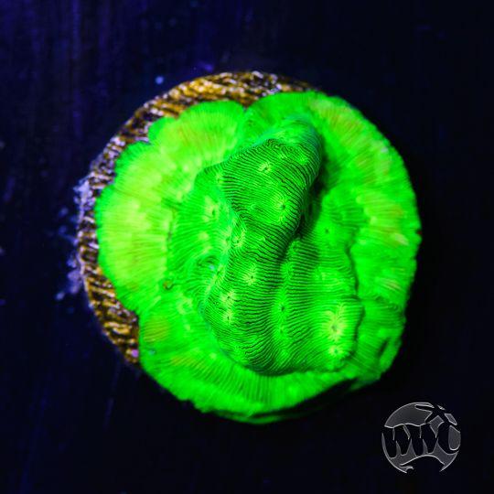 WWC Toxic Waste Leptoseris
