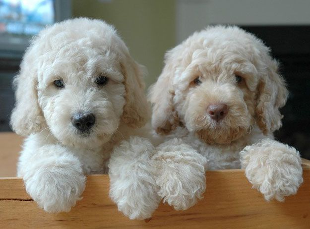 Our expert Goldendoodle owner explains the difference between goldendoodles and labradoodles.