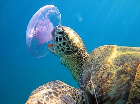 what-do-turtles-eat-jellyfish.jpg (485×361)