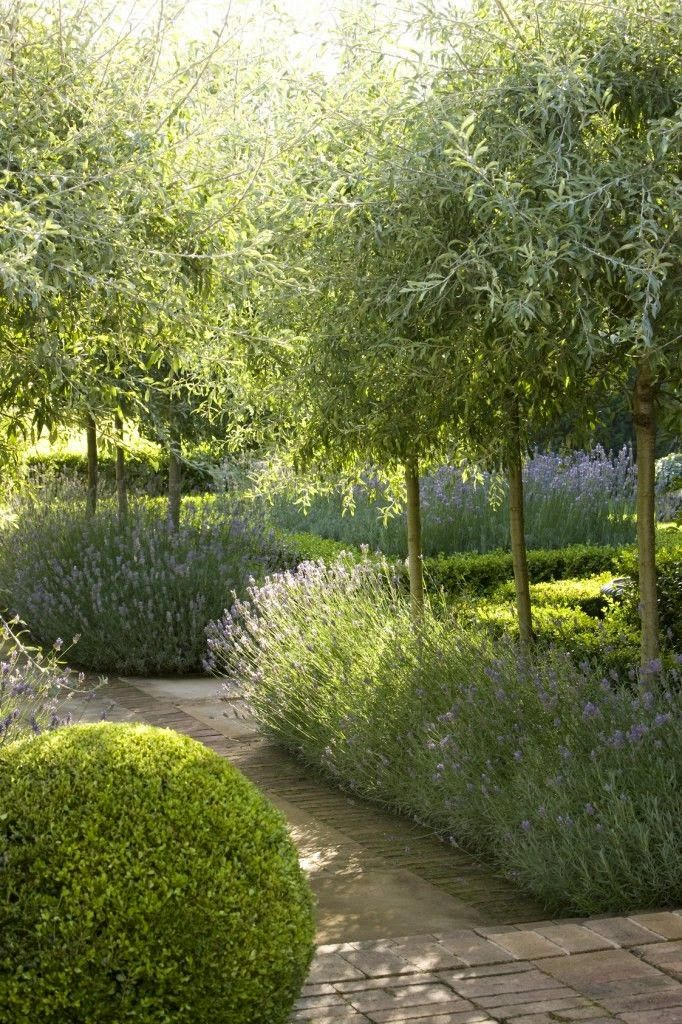 Mediterranean landscaping, olive trees, lavender and boxwood, studio karin